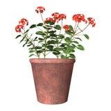 Vaso rosso del geranio su bianco Fotografie Stock