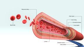 Vaso sanguigno illustrazione vettoriale