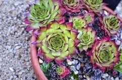 Vaso succulente della pianta Immagine Stock Libera da Diritti