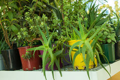 Vaso variopinto della pianta dell'aloe, di Jade Plant e dell'altra pianta succulente Immagini Stock Libere da Diritti
