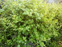 Vaso verde di Dave con il fondo vago del giardino Fotografia Stock Libera da Diritti