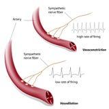 Vasoconstriction and vasodilation control. Blood vessels constriction and dilation control by the sympathetic system, eps8 Royalty Free Stock Photo
