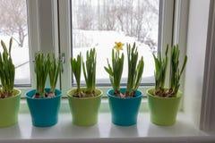 Vasos de flores coloridos dos narcisos amarelos do anão, narciso, em um cargo da janela com parte externa da neve Mola fotografia de stock royalty free