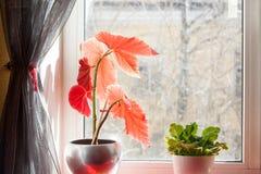 Vasos de flores na soleira, vidro empoeirado do Houseplant, da mola vida ainda Imagem de Stock Royalty Free