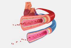 Vasos sanguíneos Imagen de archivo libre de regalías