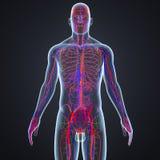 Vasos sanguíneos e nós de linfa com corpo ilustração do vetor