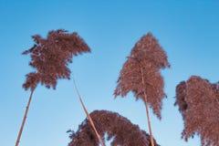 Vass för fyra Phragmites på bakgrund för blå himmel Arkivfoton
