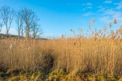 Vass i ett våtmarkfält arkivfoton