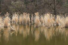 Vass i sjön och våtmarken royaltyfri fotografi