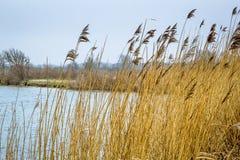 Vass i vatten, Holland Arkivfoton