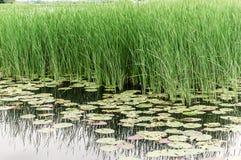 Vass, Lotus och liten and på sjön Fotografering för Bildbyråer