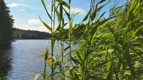 Vass på kusten av en sjö stock video