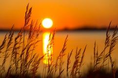 Vass på solnedgången Royaltyfria Foton