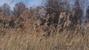 Vass på vindnärbilden, marsdag stock video