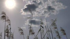 Vasser på solnedgången - vassgungning i vinden på solnedgången - Dolly Shot arkivfilmer
