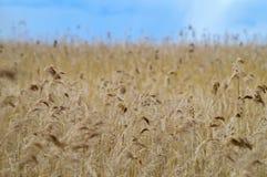 Vassgräsfält under blå himmel royaltyfri bild