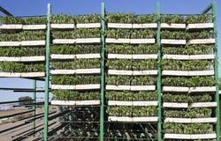 Vassoi delle piantine del pomodoro sugli scaffali del rimorchio Fotografie Stock Libere da Diritti