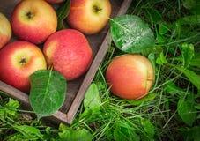 Vassoio di legno di mele mature in un giardino sull'erba Immagini Stock Libere da Diritti