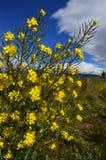 Vassoura de Bloomin Fotos de Stock