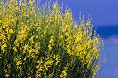 Vassoura espanhola amarela em s azul Fotografia de Stock