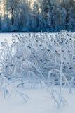 Vassväxter i frosten på vintersjön i skog Arkivbild