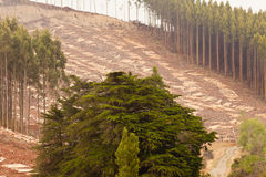 Vast clearcut Eucalyptus forest for timber harvest stock photography