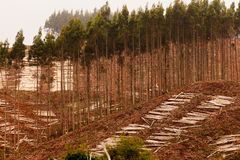 Vast clearcut Eucalyptus forest for timber harvest Royalty Free Stock Photos
