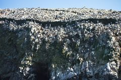 Vast colonies of Guany cormorant, Phalacocorax bougainvillii , on the cliff, Islas de Ballestas, Peru Stock Image