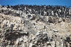Vast colonies of Guany cormorant, Phalacocorax bougainvillii , on the cliff, Islas de Ballestas, Peru. The vast colonies of Guany cormorant, Phalacocorax Royalty Free Stock Images
