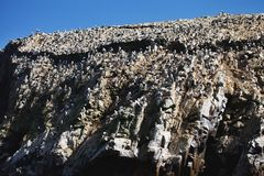Vast colonies of Peruvian booby, Sula variegata, on the cliff, Islas de Ballestas, Peru. The vast colonies of Peruvian booby, Sula variegata, on the cliff, Islas Royalty Free Stock Photography