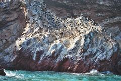 Vast colonies of Peruvian booby, Sula variegata, on the cliff, Islas de Ballestas, Peru. The vast colonies of Peruvian booby, Sula variegata, on the cliff, Islas Stock Photo