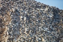 Vast colonies of Peruvian booby, Sula variegata, on the cliff, Islas de Ballestas, Peru. The vast colonies of Peruvian booby, Sula variegata, on the cliff, Islas Royalty Free Stock Images