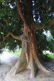 Vast coniferous tree Royalty Free Stock Image