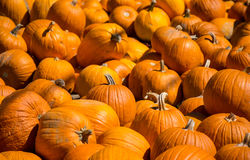 Vast Crowd of Pumpkins for Halloween Royalty Free Stock Photo
