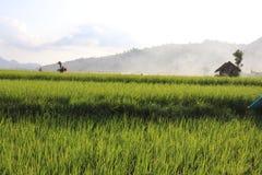 Vast expanse of rice plantations ,. Vast expanse of rice plantations, the background of a white cloud blue sky stock photo