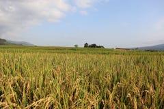 Vast expanse of rice plantations ,. Vast expanse of rice plantations, the background of a white cloud blue sky royalty free stock image