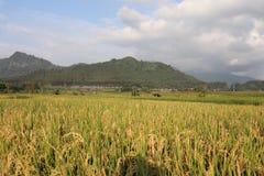 Vast expanse of rice plantations ,. Vast expanse of rice plantations, the background of a white cloud blue sky stock image