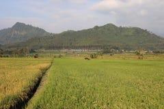 Vast expanse of rice plantations ,. Vast expanse of rice plantations, the background of a white cloud blue sky stock photos