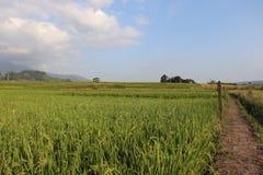 Vast expanse of rice plantations ,. Vast expanse of rice plantations, the background of a white cloud blue sky stock photography