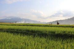 Vast expanse of rice plantations ,. Vast expanse of rice plantations, the background of a white cloud blue sky stock images