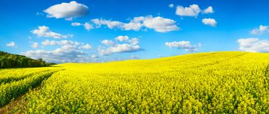 Vast field of blossoming rapeseed, panorama. Panorama landscape showing a vast field of blossoming bright yellow rapeseed on a hill, with vibrant blue sky and stock photos