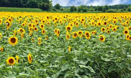 Vast field cultivated with sunflowers Stock Photo