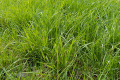 Vast field of natural tall green grass Stock Photo