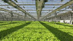 The vast field sown lettuce in the greenhouse. People working in the background. The vast field sown lettuce in the greenhouse stock footage