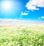 Vast fields of daisies Royalty Free Stock Photos
