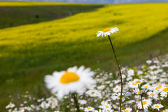 Vast fields of daisies and flowering mustard in Russia Royalty Free Stock Image