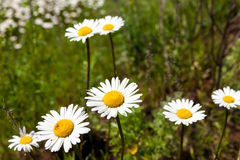 Vast fields of daisies and flowering mustard in Russia Stock Image