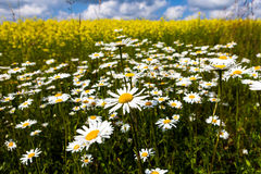 Vast fields of daisies and flowering mustard in Russia Stock Images