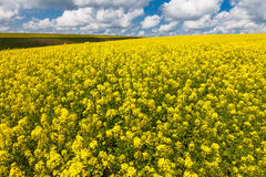 Vast fields of daisies and flowering mustard in Russia Royalty Free Stock Photography