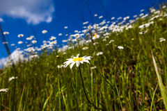 Vast fields of daisies and flowering mustard in Russia Royalty Free Stock Photo